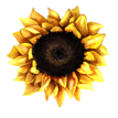 cropped-sunflower_09